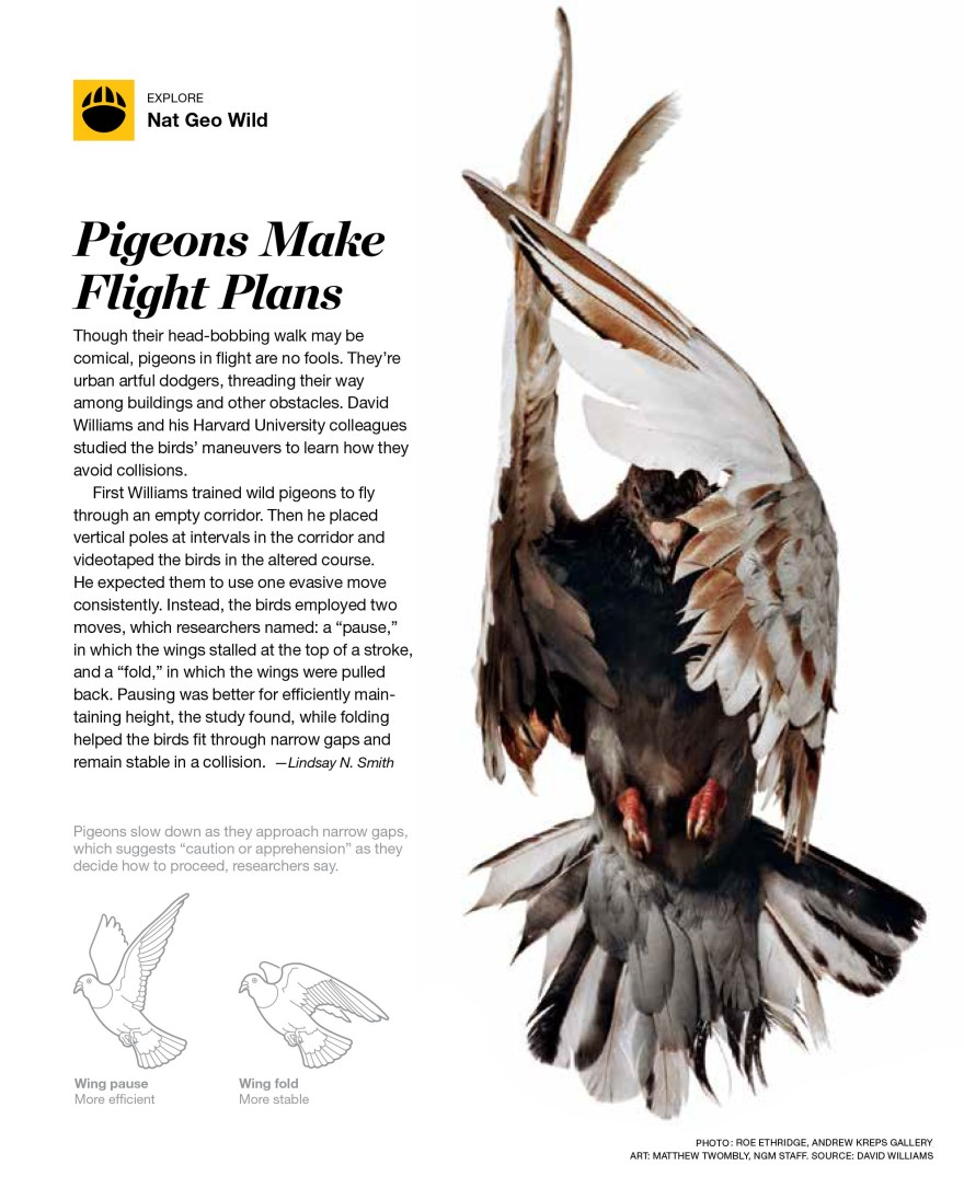 EX pigeons_thirdeyelid_001.jpg